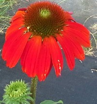 Echinacea 'Cheyenne Spirit' Red Flowered