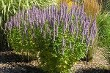 Agastache Blue Fortune courtesy Walters Gardens